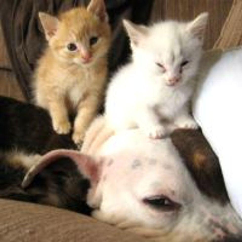 Dog Fosters Fuzzy Little Kittens