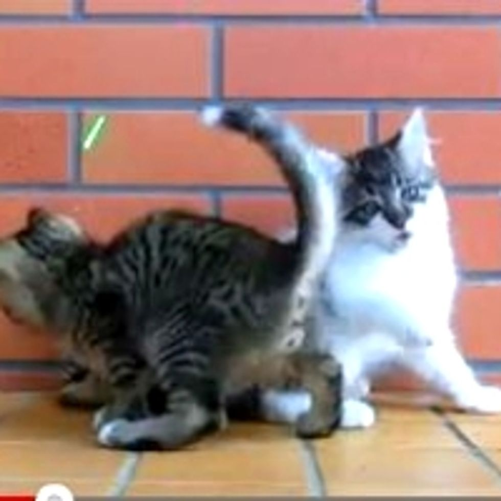 Two Kittens Playing Together: One Focused, The Other Distracted