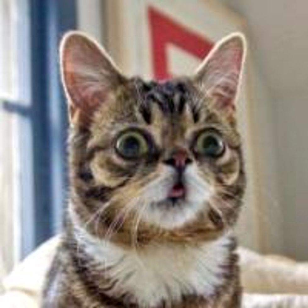 Bub the Toothless Dwarf Kitty with Bulging Eyes and a Happy Face