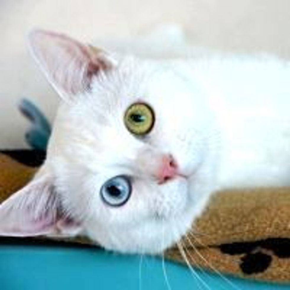 Reynard the Odd-eyed Kitty