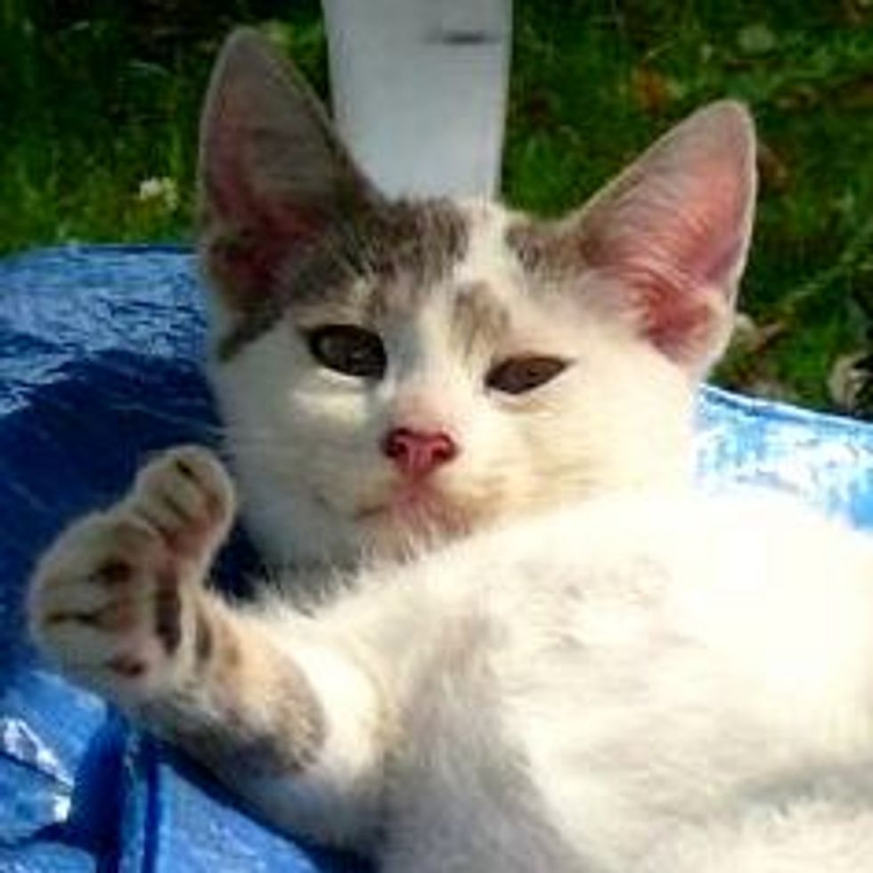 Booboo the Rescue Feral Kitty with Opposable Thumbs