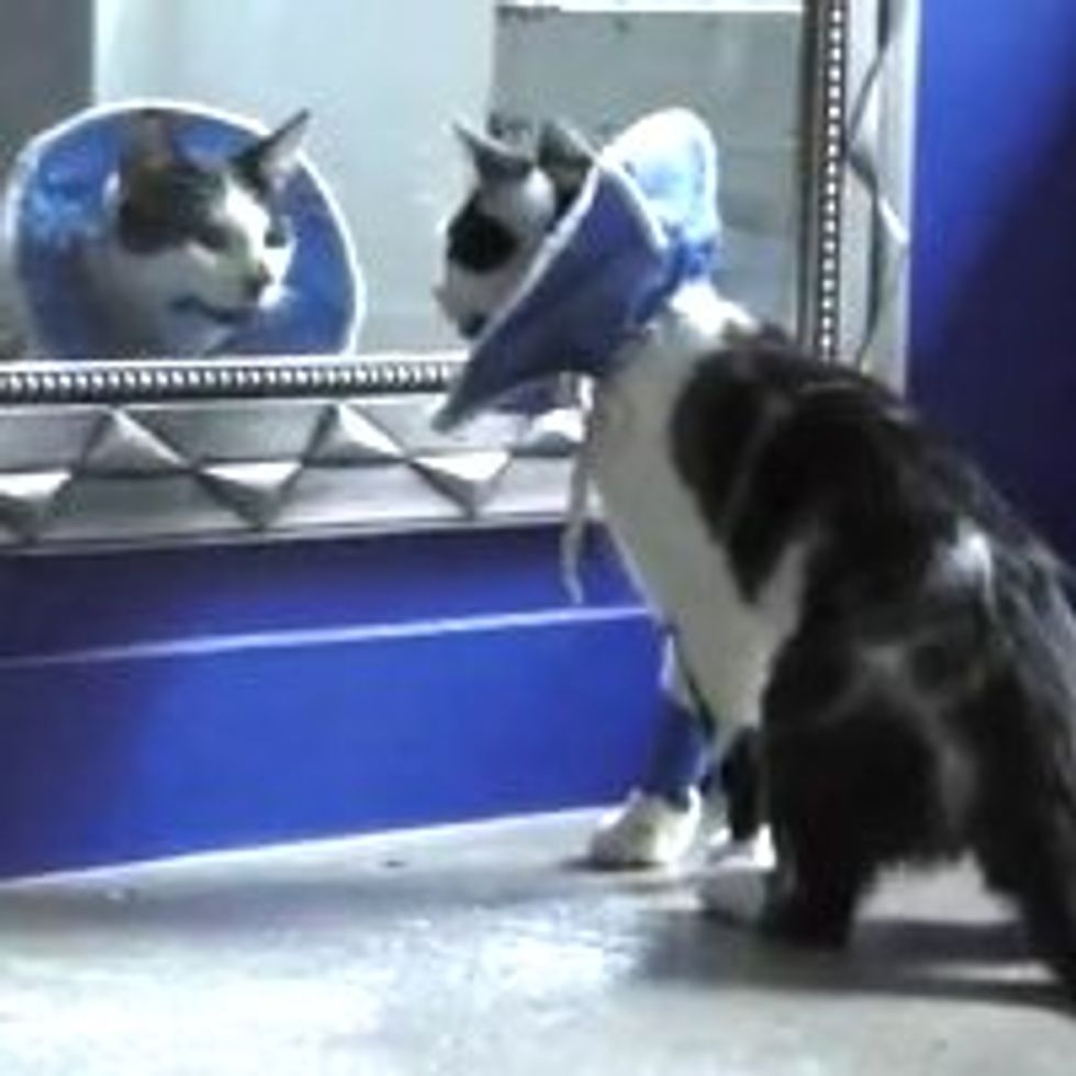 Neutered Kitty Doesn't Recognize Himself