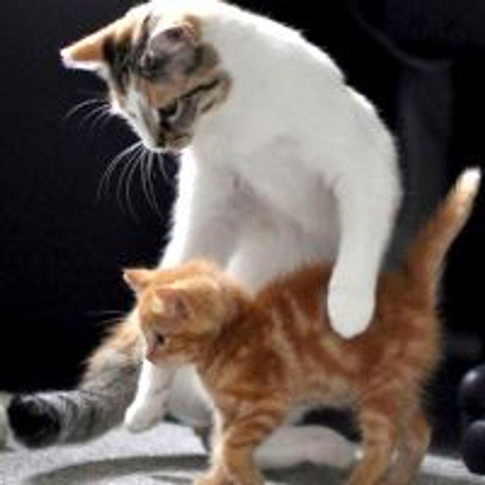 Rescue Feral Ginger Kittens Get New Surrogate Mom