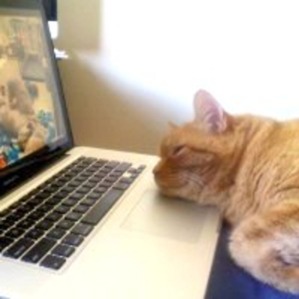 Baba the Cat Loves Watching Live Feed of Puppies