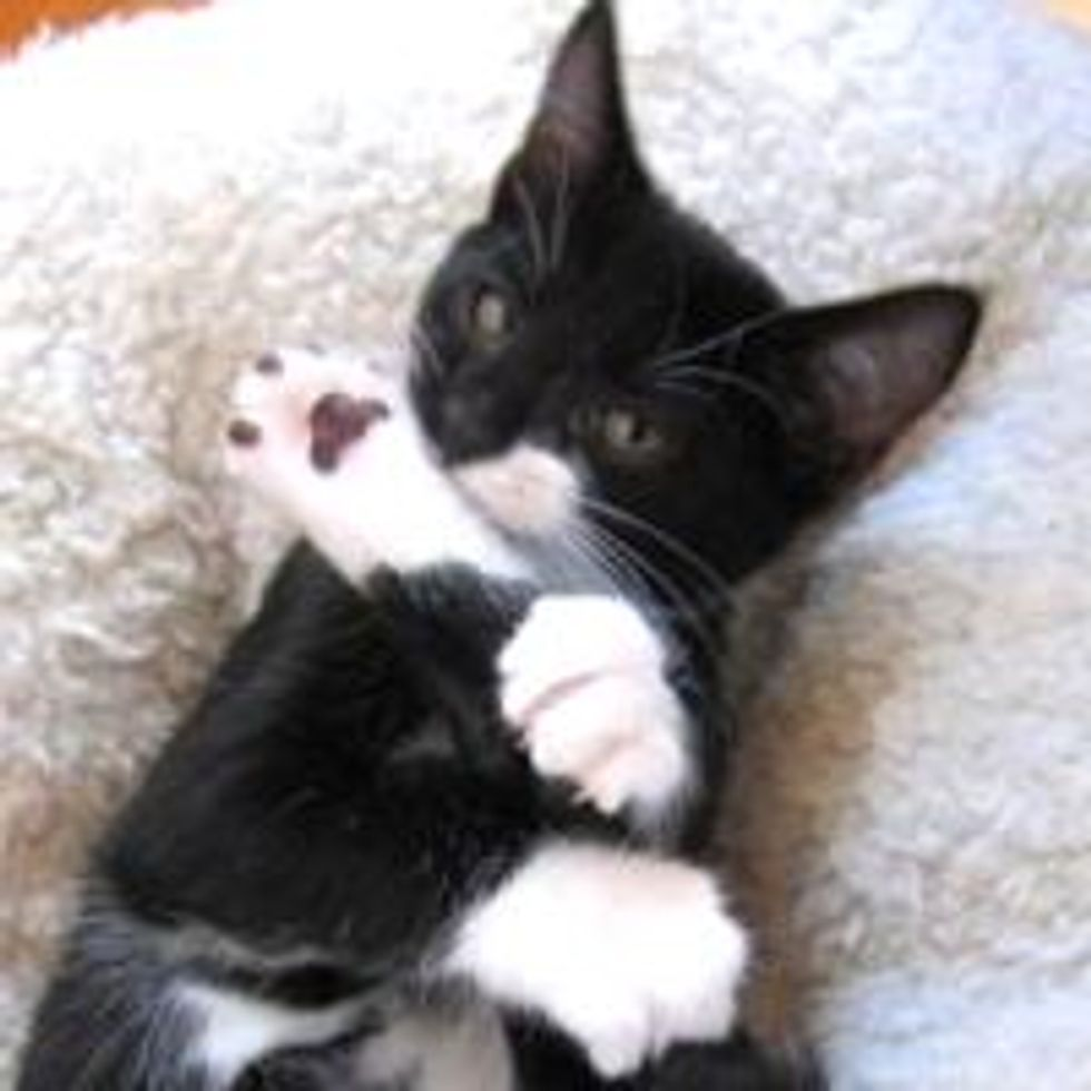 Stanley the Tuxedo from Rescue to Helping Other Fosters