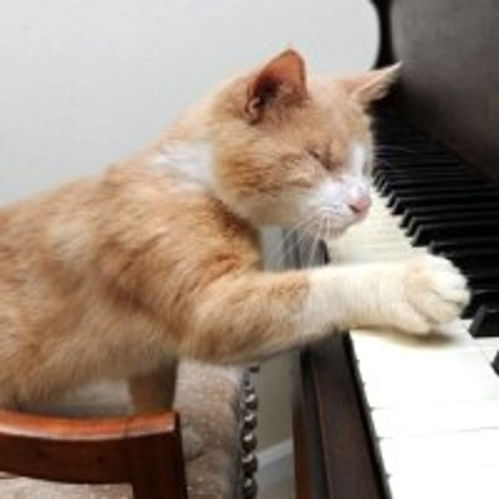 Stevie Wonder the Blind Piano-playing Cat