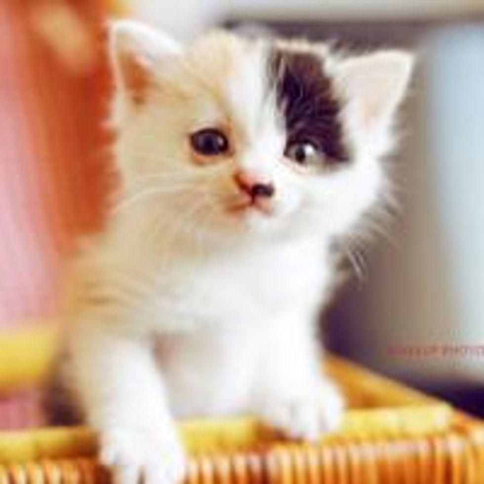 Calico Kitty Nini: the Boss