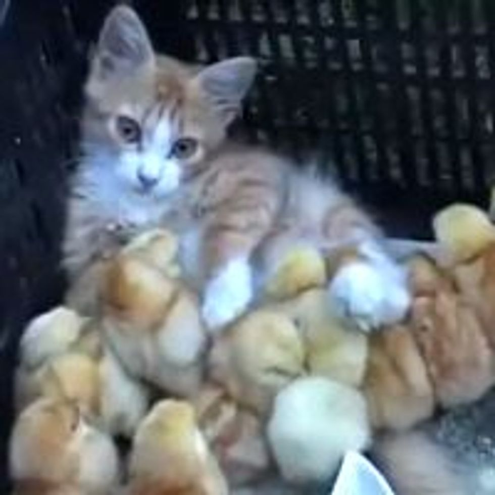 Ginger Kitten and His Entourage of Chicks