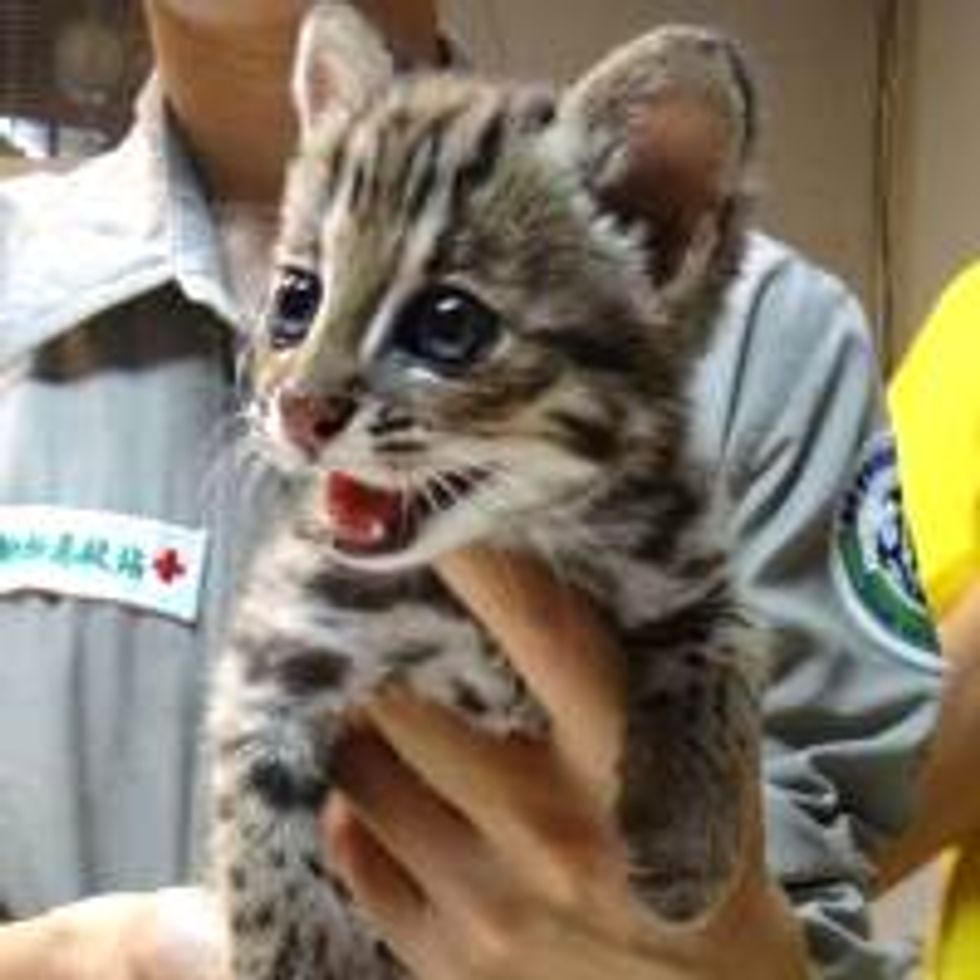Orphan Leopard Cat Rescued from Hillside
