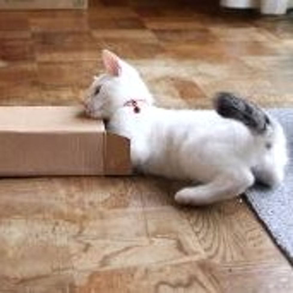 Mimi the Cat Tries to Fit in Small Box