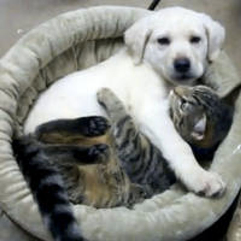 Cuddly Buddies: Tabby Kitty and Yellow Lab