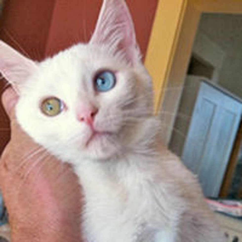 Mimo the Cat with Odd-eyes