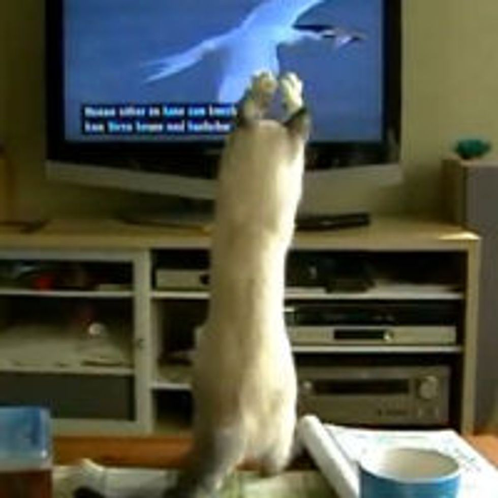 Elsa the Kitty Trying to Catch Birds on TV