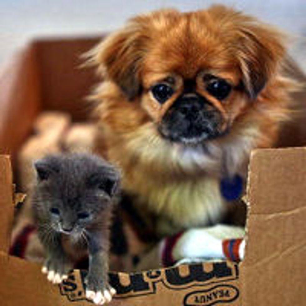 Dog Adopts and Nurses Orphan Kitten
