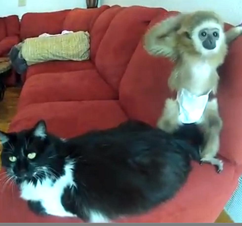 Rescue Stray Cat Befriends White-Handed Gibbon Ape