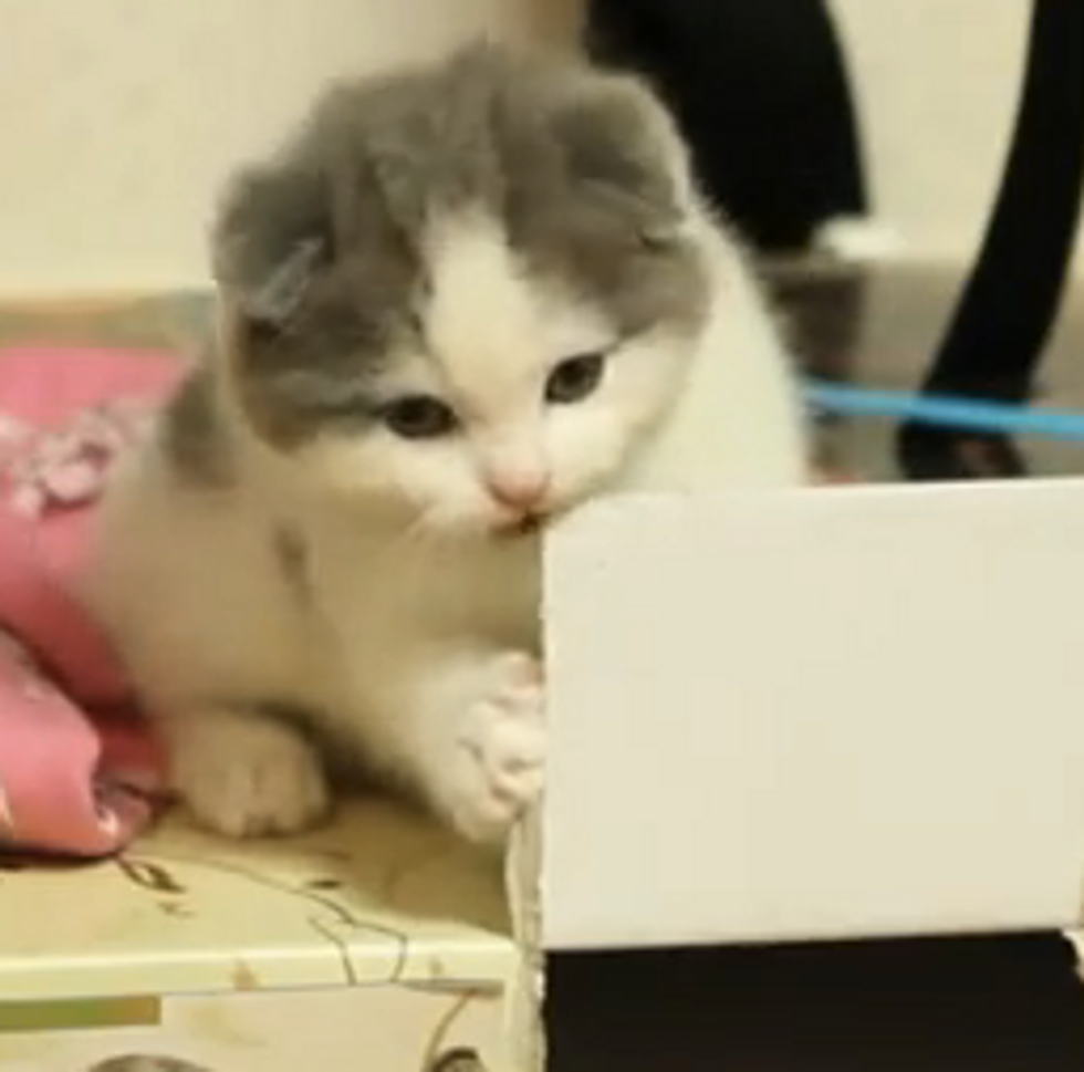 Cute Scottish Fold Kitten Nibbles a Box