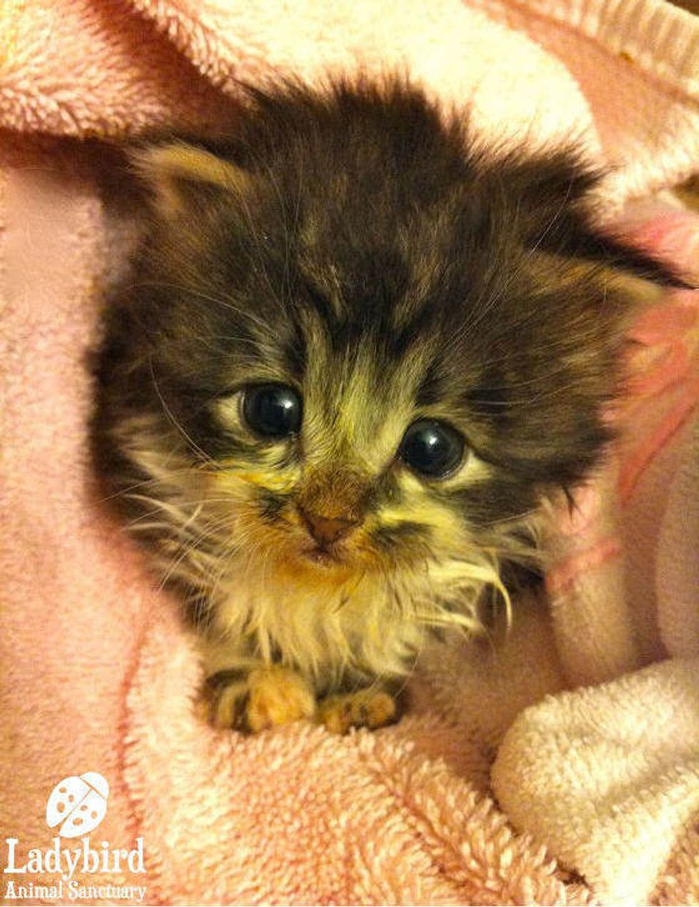 Little Bean the 3-week-old Orphan Kitten Strays into New Life