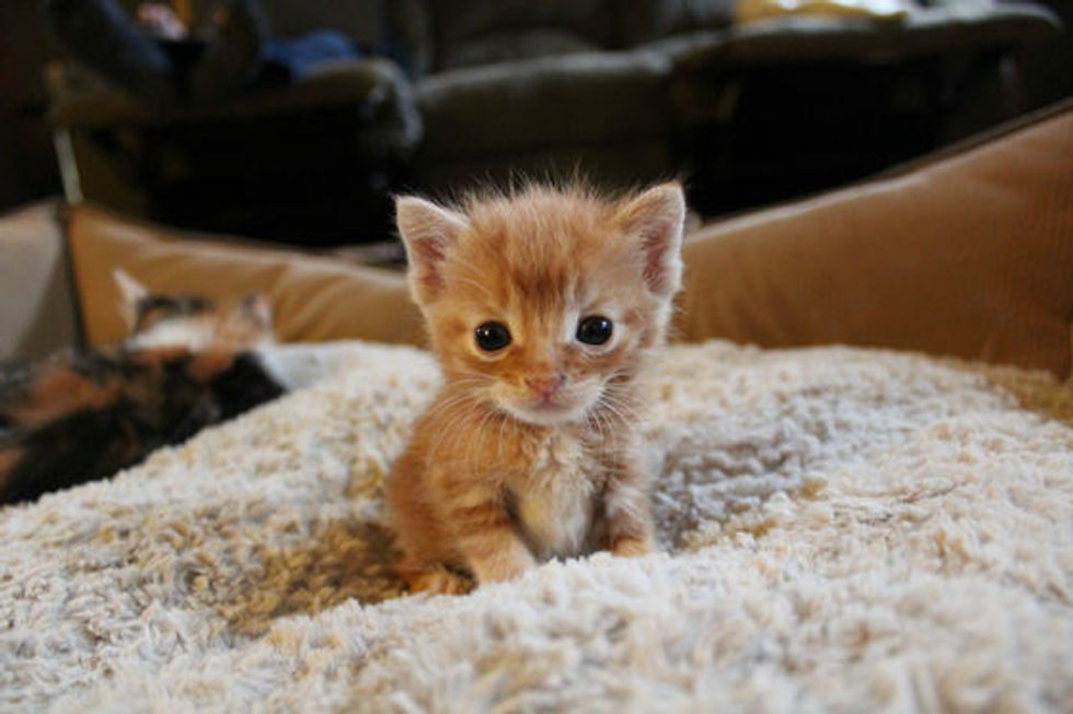 Itty Bitty Foster Ginger: Hobbes