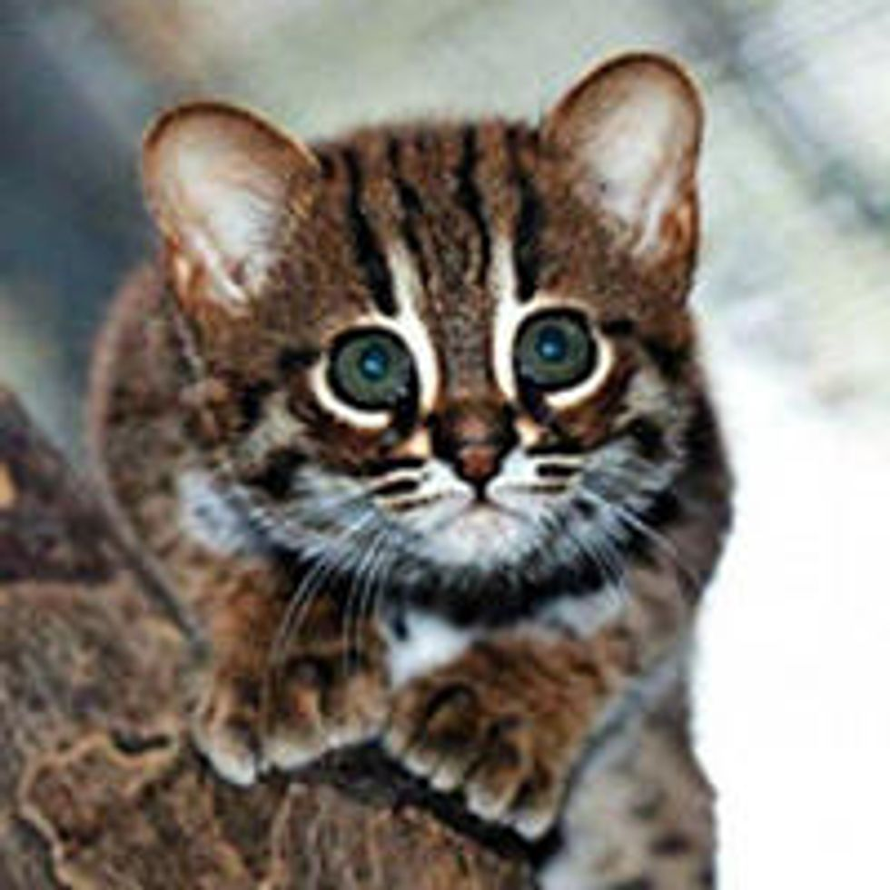 World's Smallest Wild Cats, Rusty-Spotted Cats, Make Appearance in Berlin