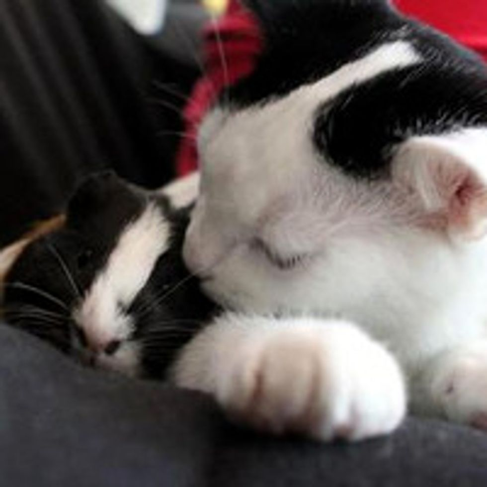 Cat and Guinea Pig: Unlikely Friendship