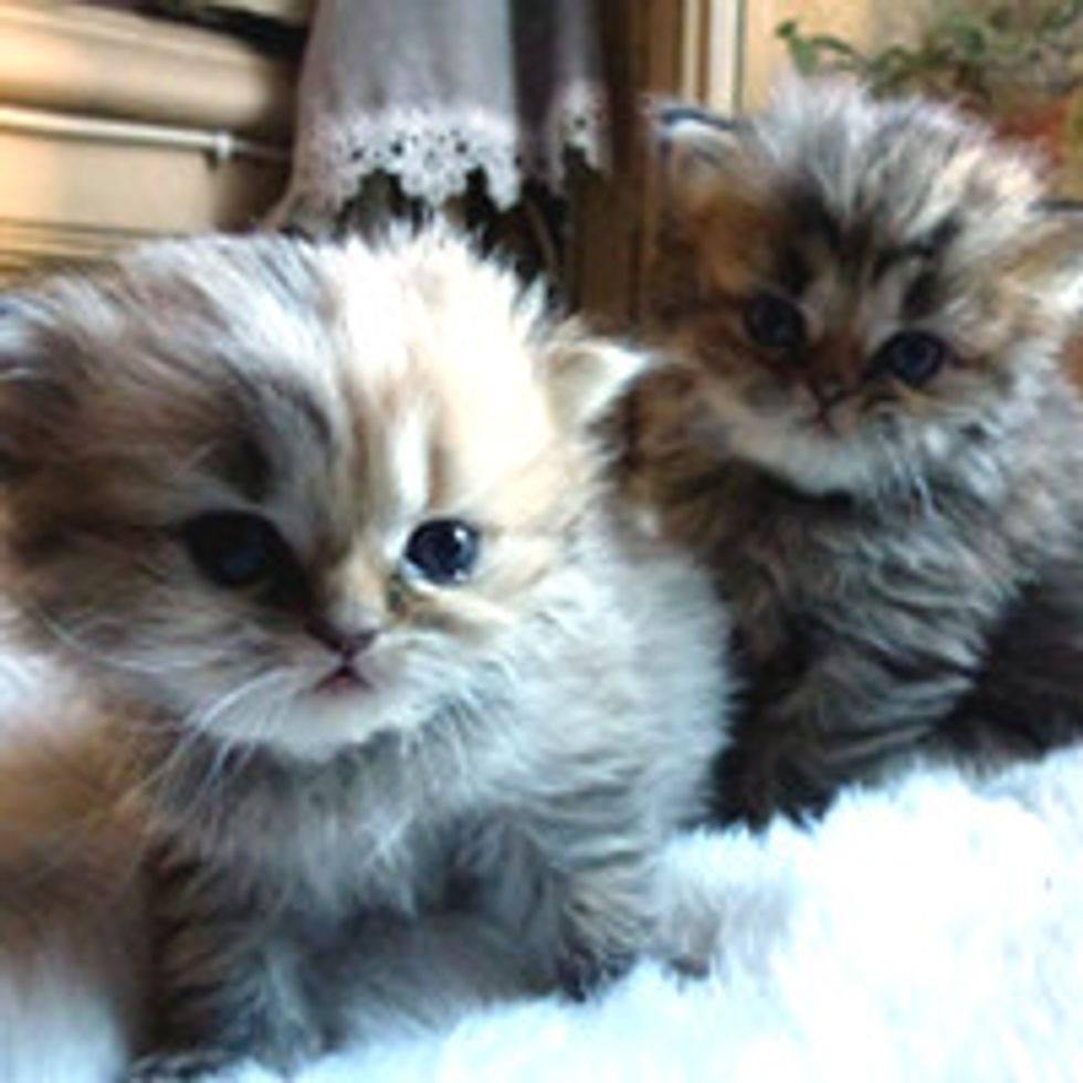 Fluffy Kitty Duo