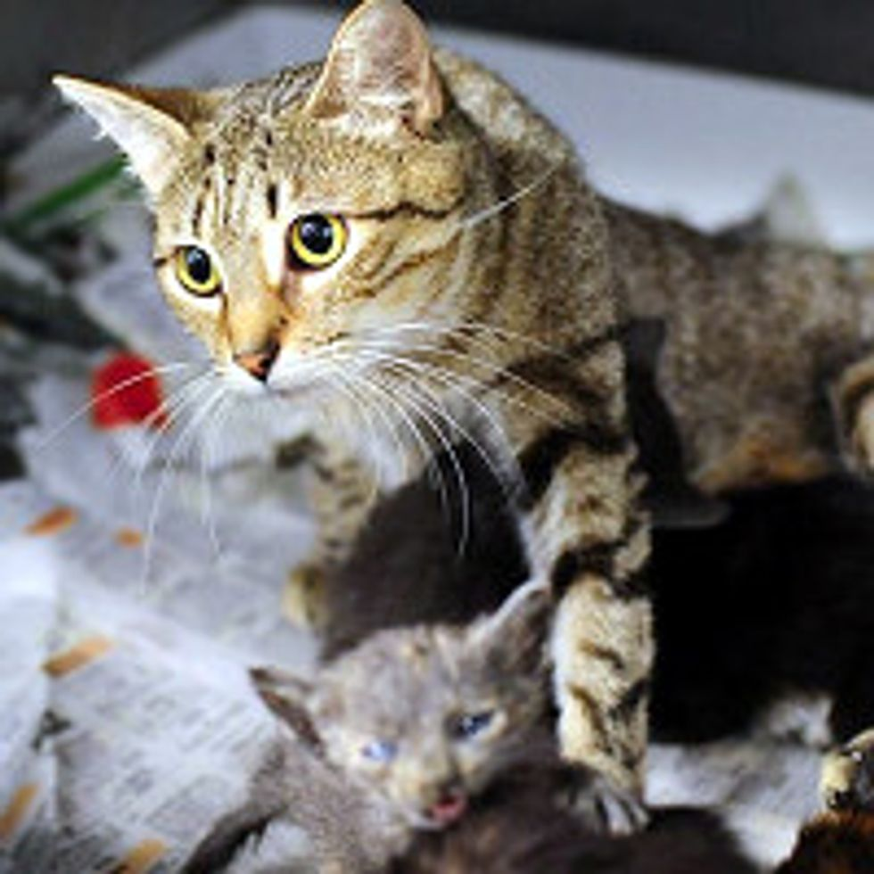 Rescue Cat Adopts Orphan Kittens, Need Foster Home