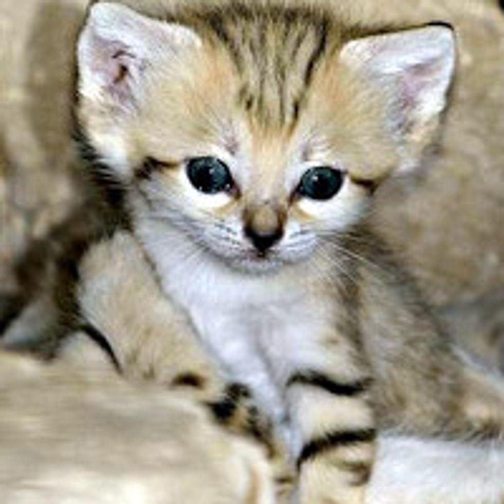 Extinct Species in Israel, Sand Cat Kittens Emerge at Zoo Tel Aviv