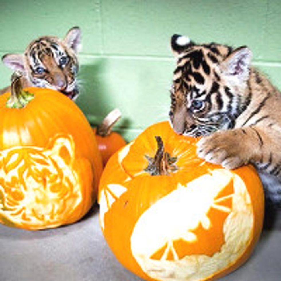 Tiger Cubs Enjoy Pumpkins First Time