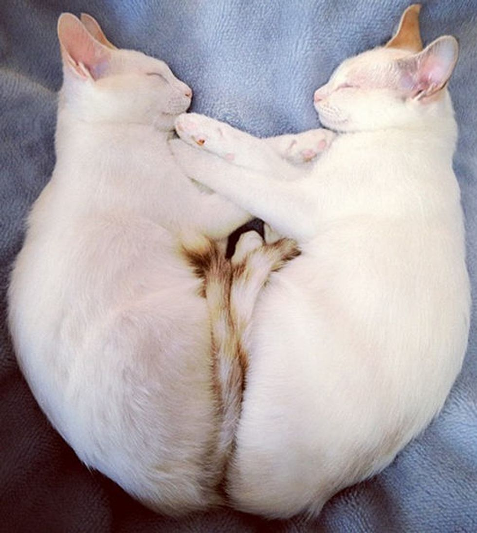 Twin Kitties Mirror Each Other in Sleep