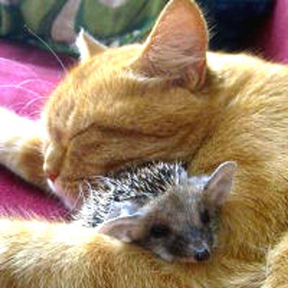 Cat Mom Adopts Four Orphan Hedgehogs