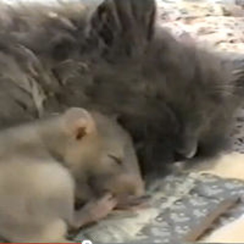 Kitty Cuddles up to Baby Rat. Too Cute!