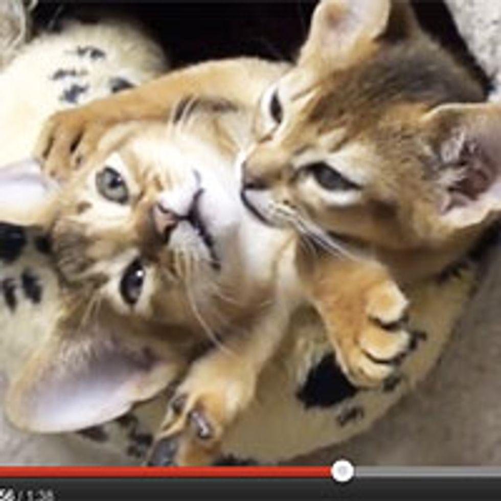 Kittens Hugging - Love Bugs