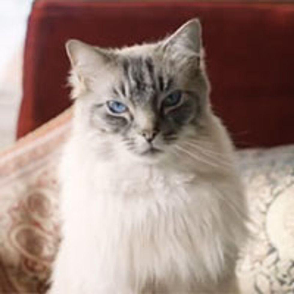 Cat Prince Nikolai Stroganov III, the Ultimate Warmth Lover