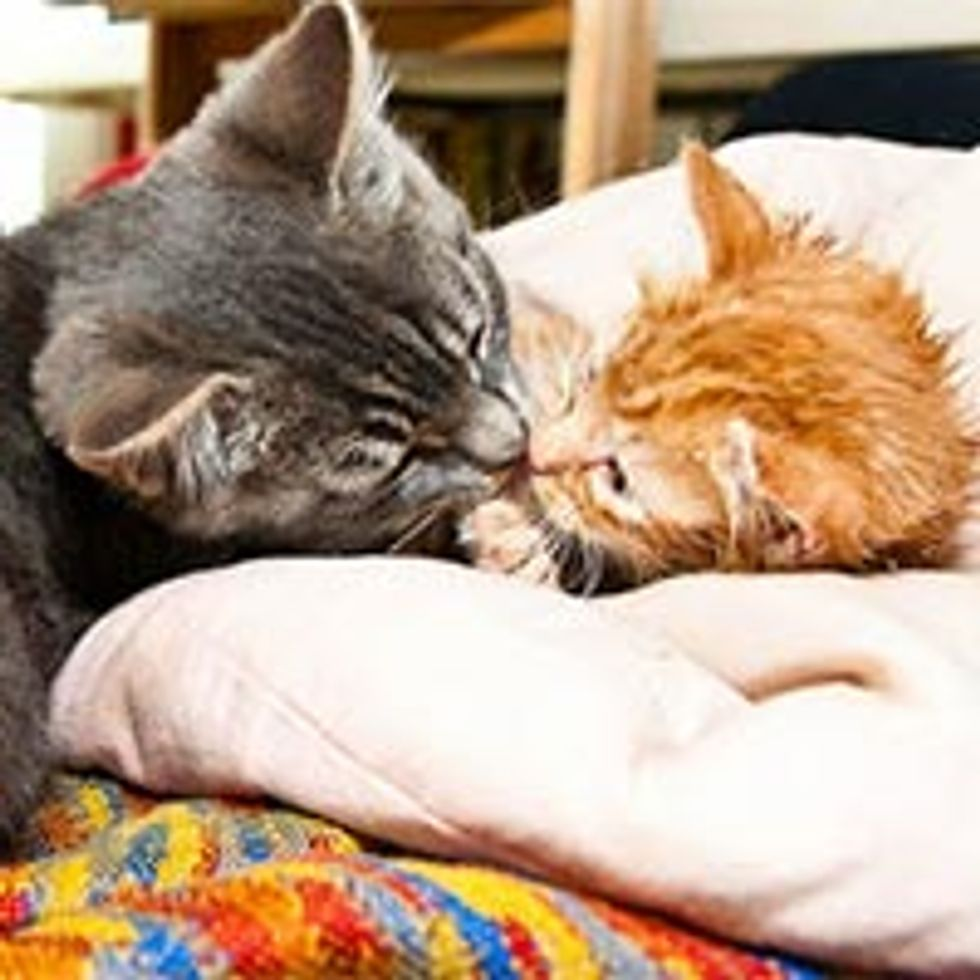 Orphan Kitten Loved by Rescue Cat