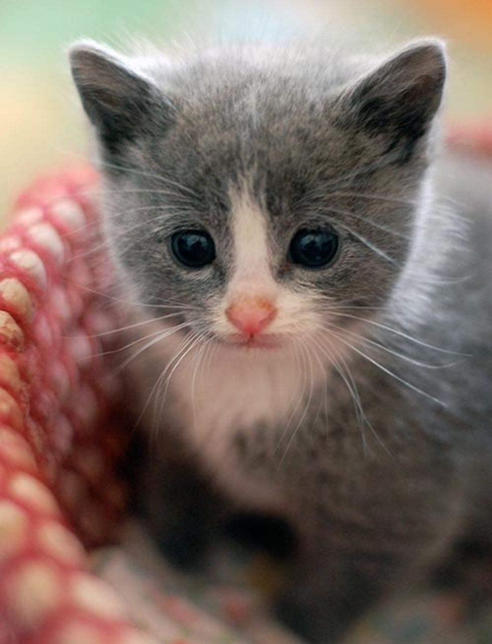 Tiny Grey Kitty All Grown Up