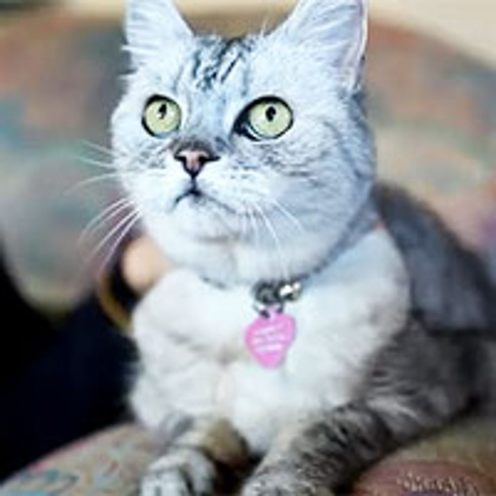 Smokey, World's Loudest Purring Cat