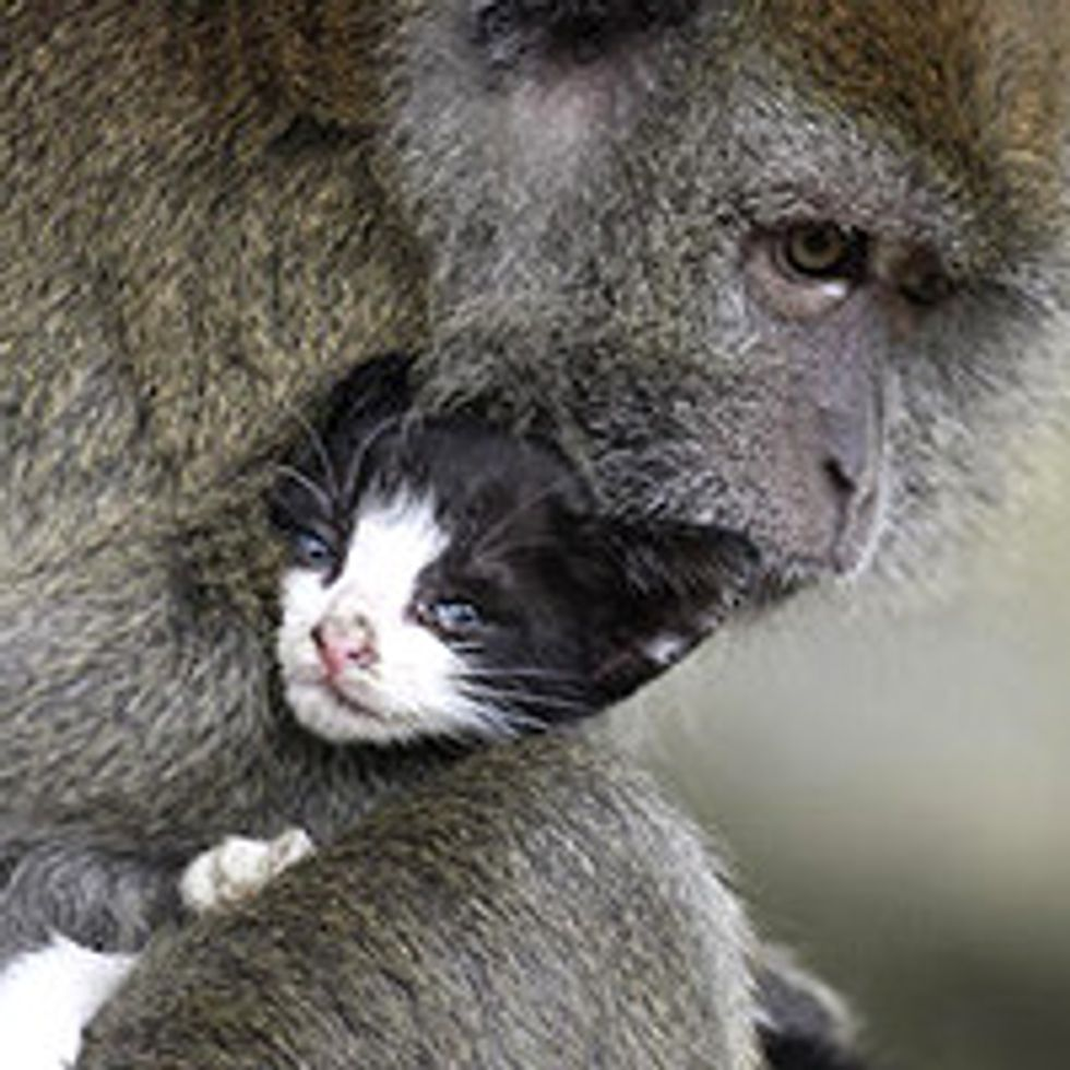 Kitten In Indonesia Adopted by Monkey