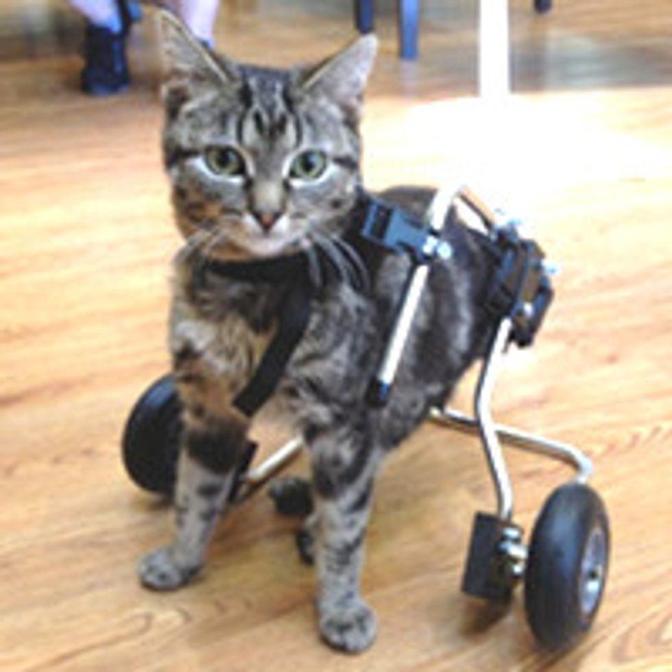 Dot Special Cat with Spina Bifida Inspires Many with Her Story