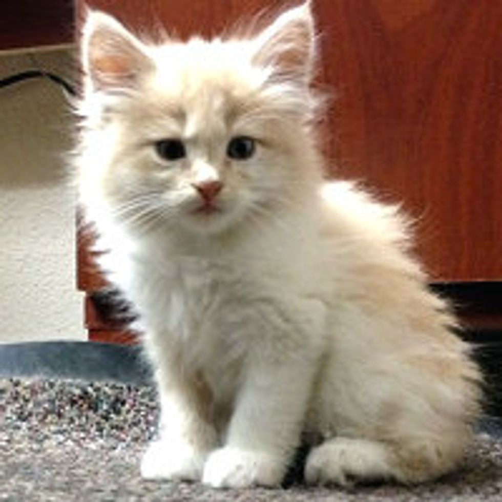 Tiny Cream Kitten Rescued from Drainpipe by FireFighters