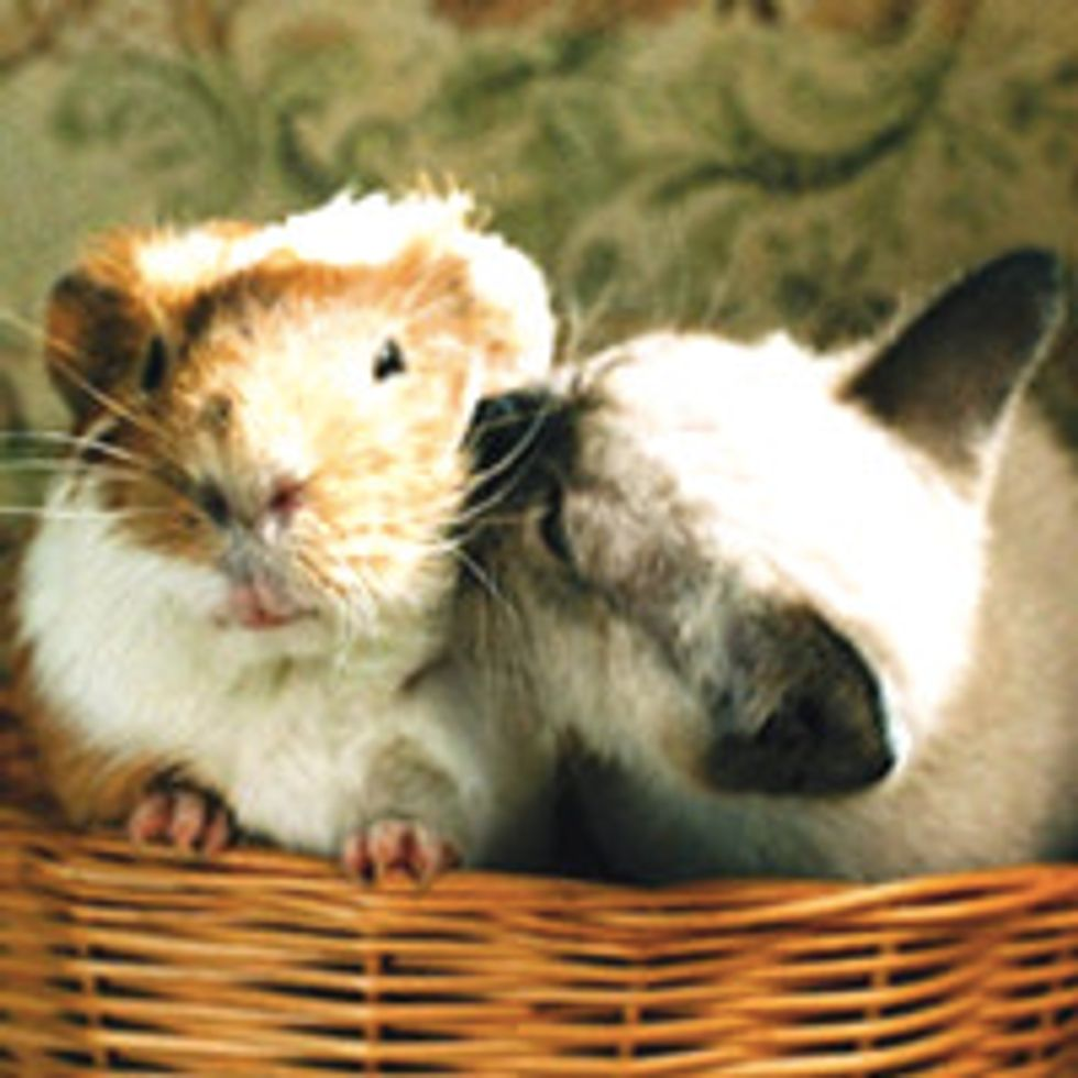 Friendship of Kitty and Guinea Pig