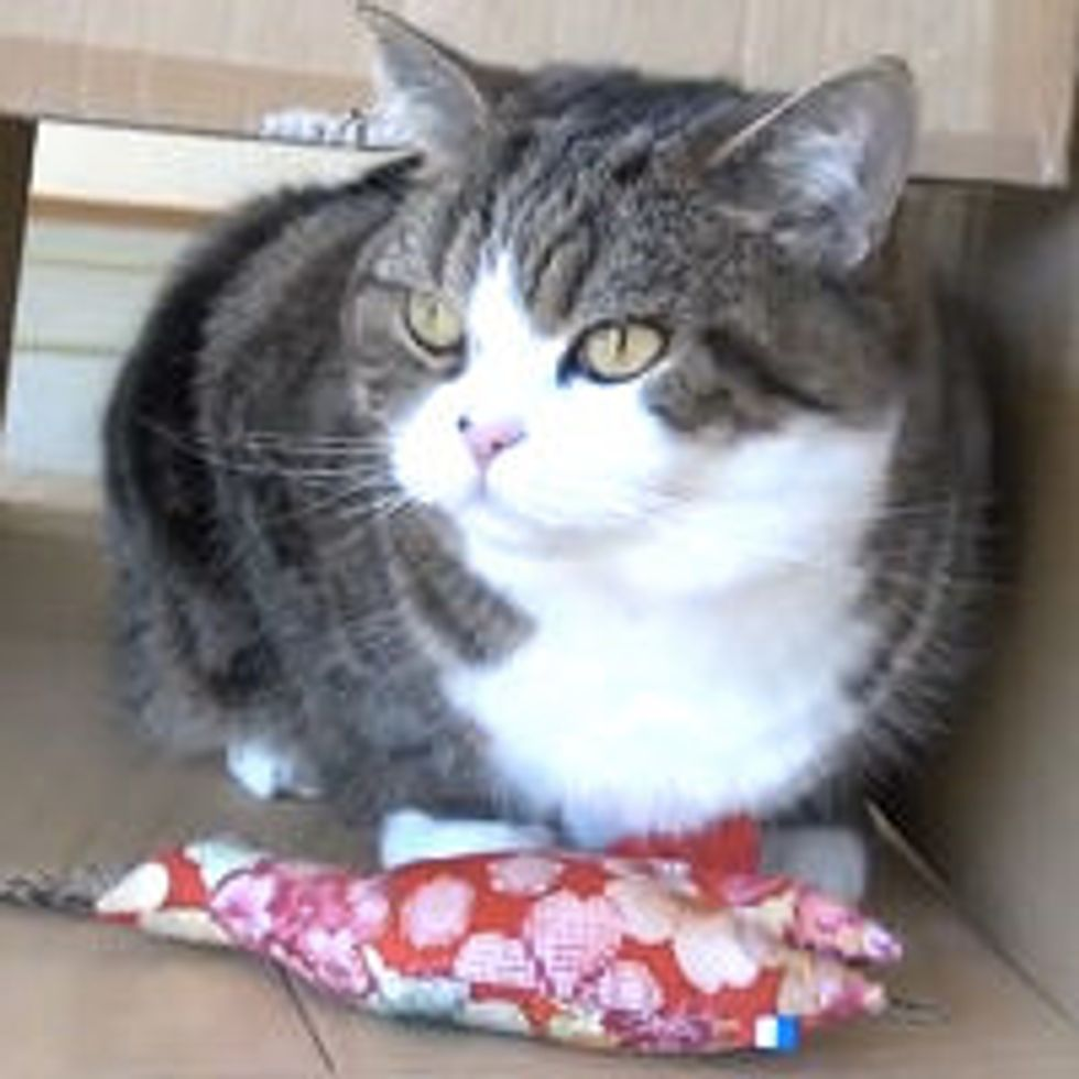 Maru and His Catnip Toy