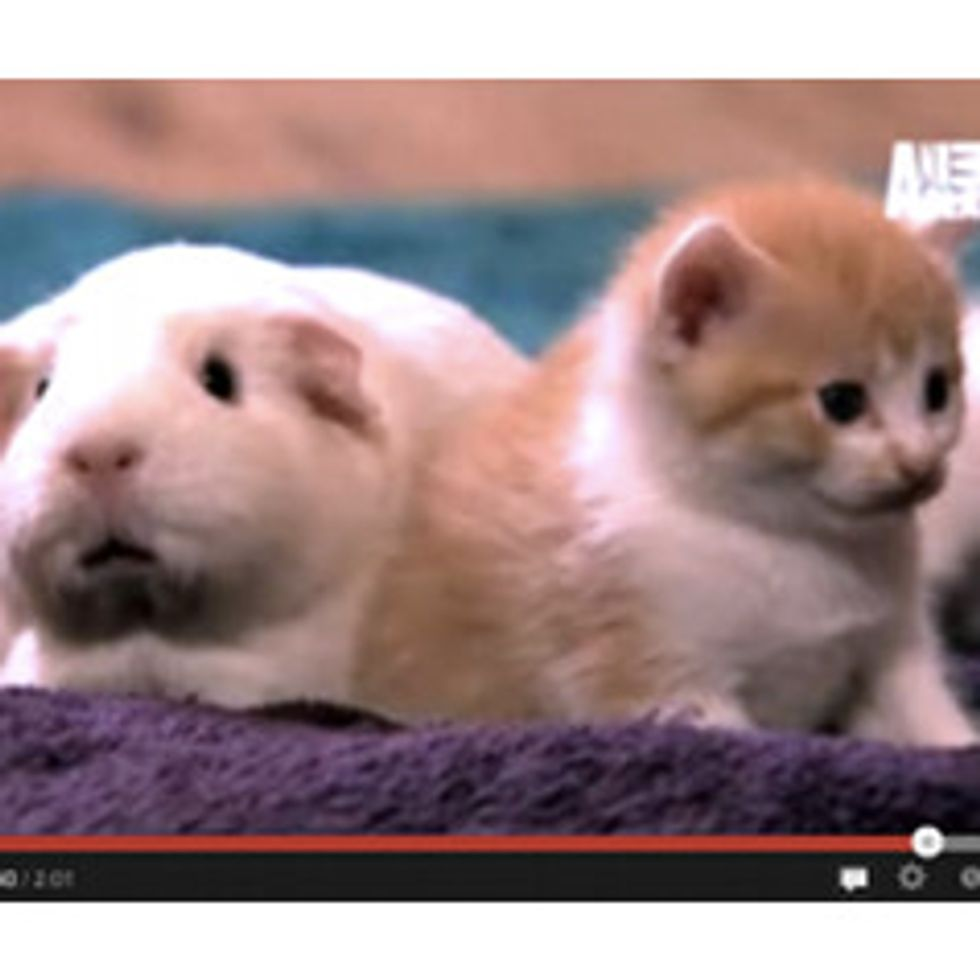 Kittens Make Friends with Guinea Pig - Too Cute