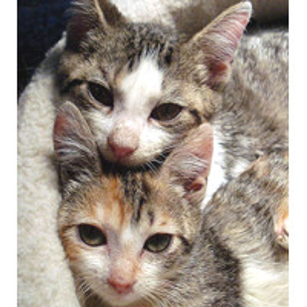Three Kitties with Cerebellar Hypoplasia Wobble into Forever Homes