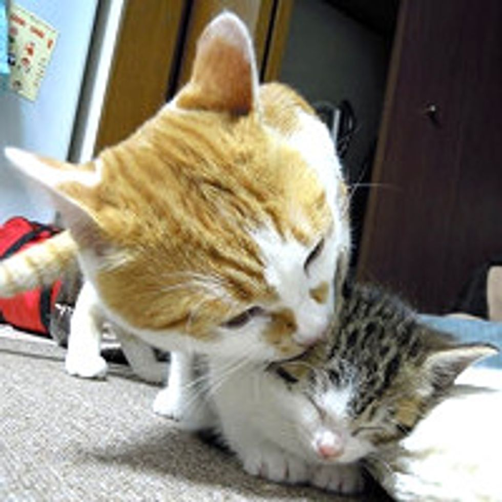 Kitten Adopted by Cat, Chronicle of Their Friendship