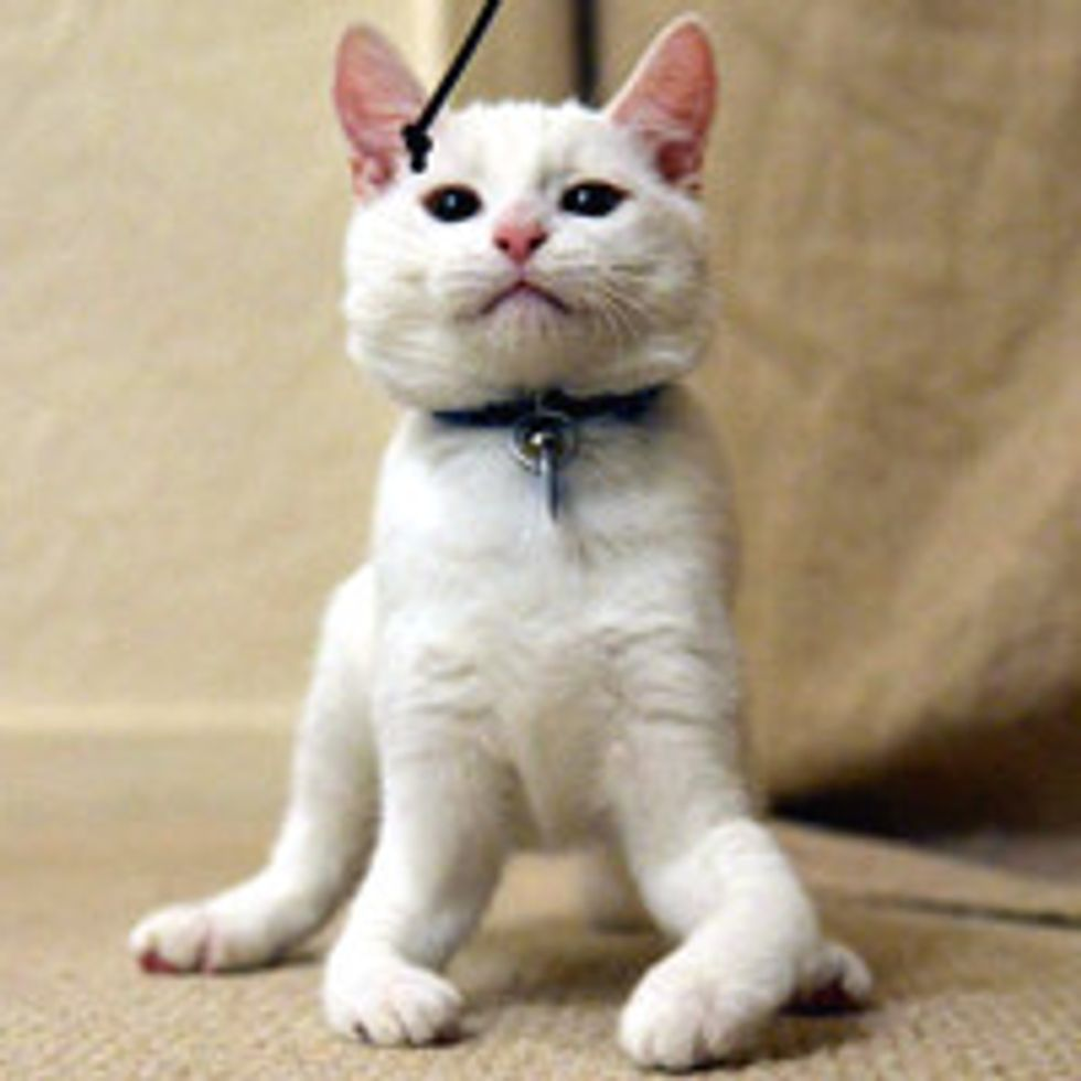 Harvey the Kitten Learns to Walk on His Elbows After Being Born without Bones in Front Legs