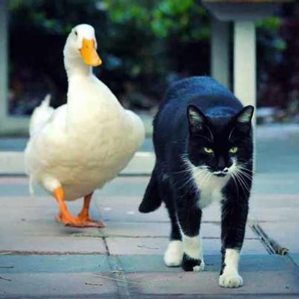 Cat and Duck Best Friends, Become Celebrities at University