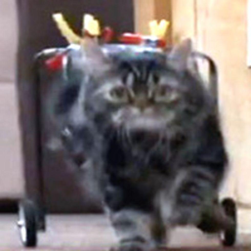 Flipper the Cat Runs in His New Cart