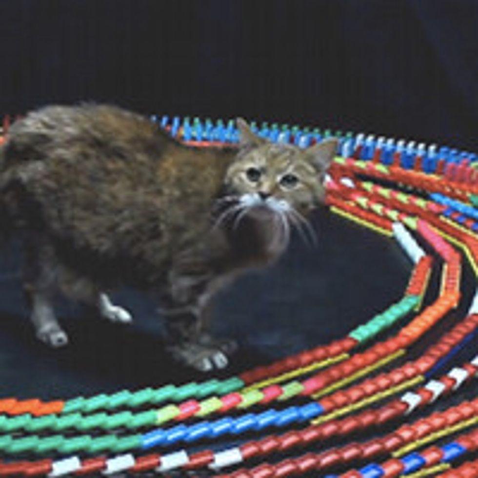 Kitty Mesmerized by Dominoes Falling