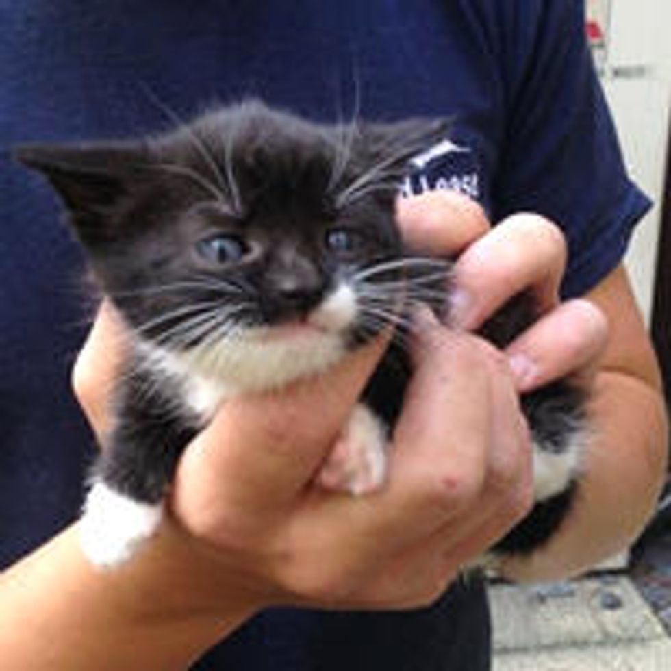 Tiny Tuxedo Kitten Rescued by Good Samaritan