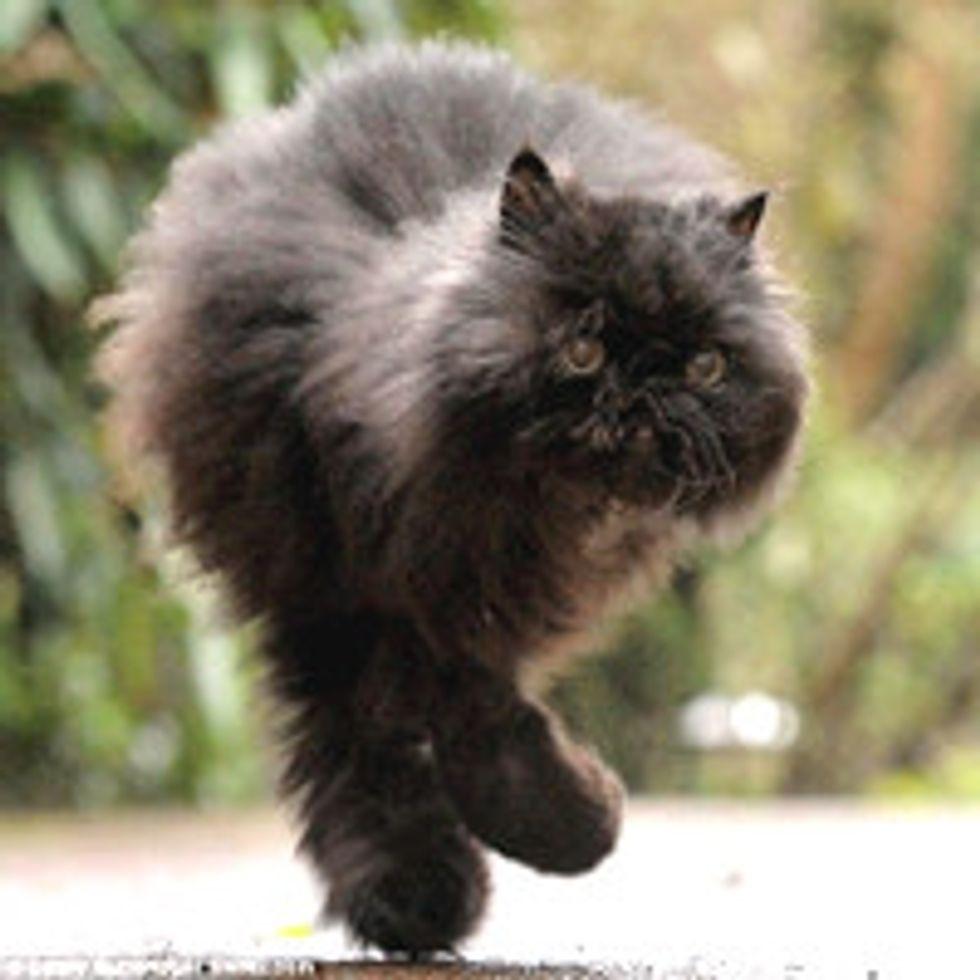 Caffrey the Amazing Two-legged Cat
